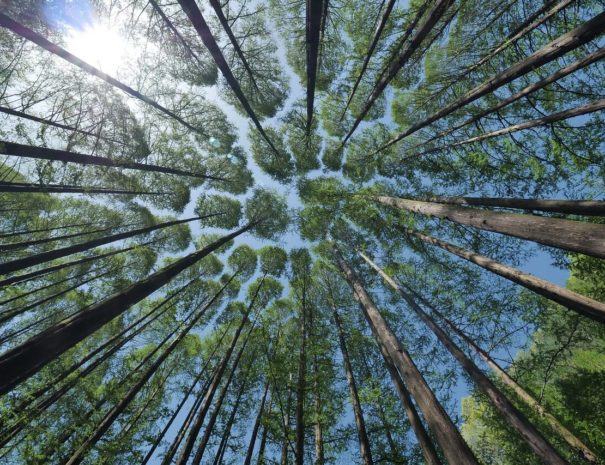 zielony-wielonek-las-drzewa